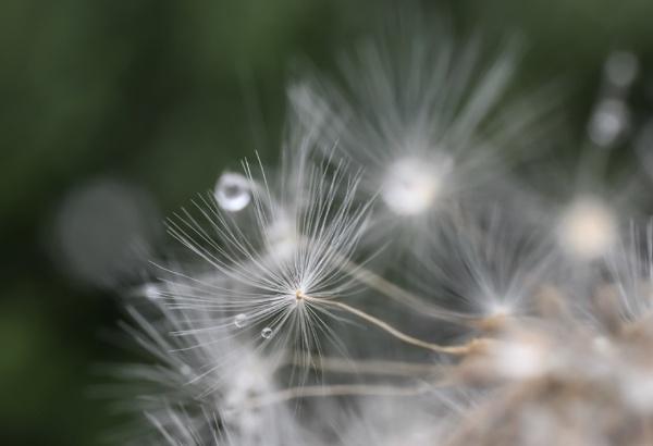 Dandy tears by ColleenA