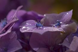 Hydrangea, after the rain