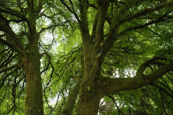 Big tree, Inveraray by themak