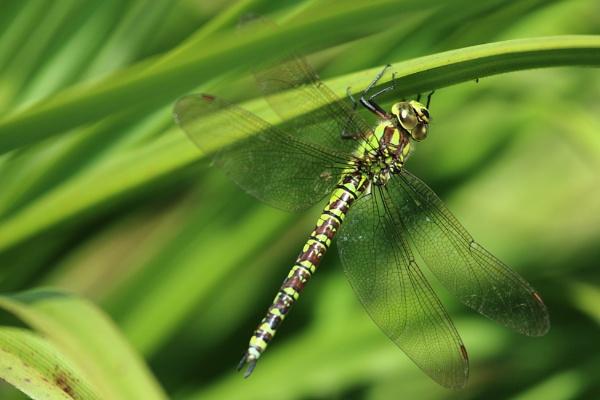 Southern Hawker - Aeshna cyanea (female) by chrisbryan