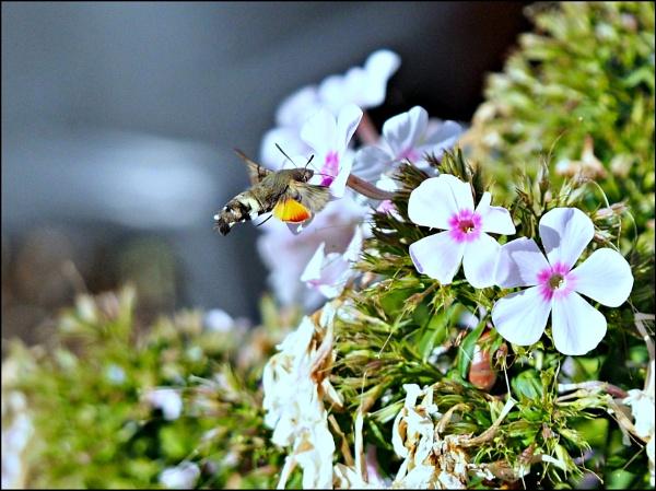 The Humming bird Moth. by brandish