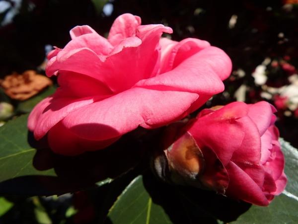 Camellia by artgaz1062