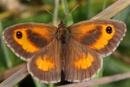 Gatekeeper (M) Pyronia tithonus by bobpaige1