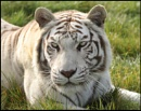 White Tiger by rickie