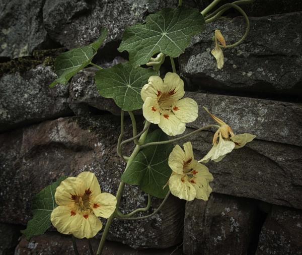 Nasturtiums on a wall by BillRookery