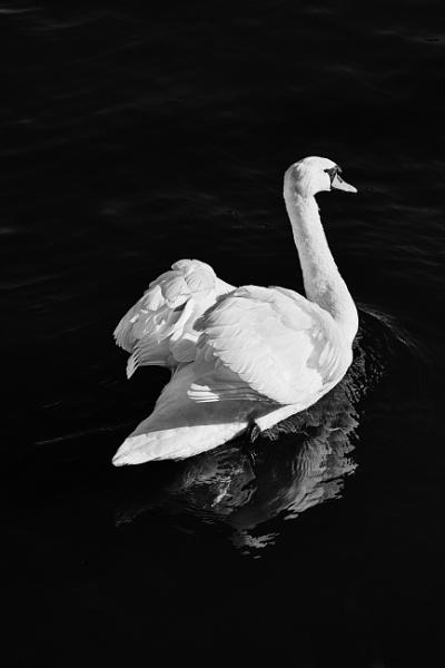Black swan by BiffoClick