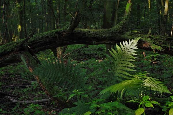 Forest Fern by PentaxBro