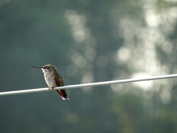 Hummingbird by DorothyD