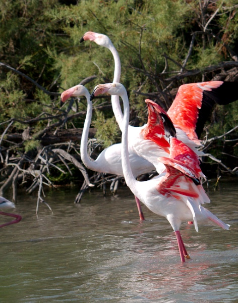 Flamingo of thé Camargue