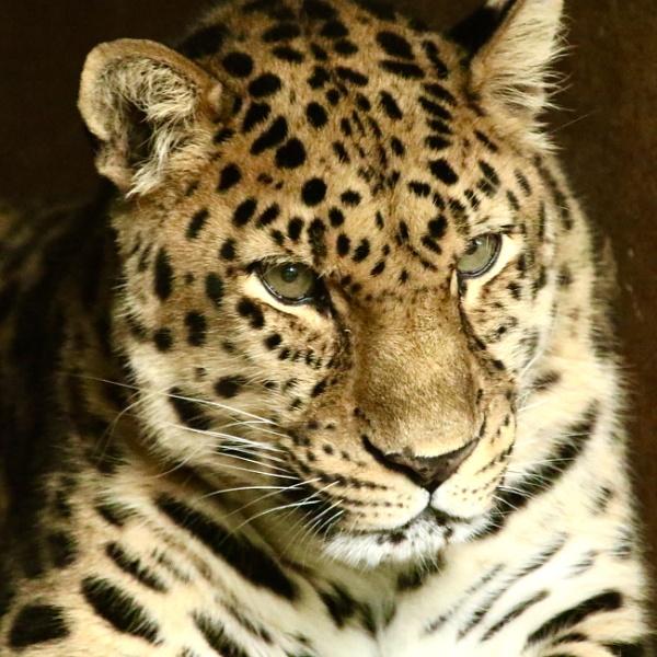 Amur Leopard by martin174