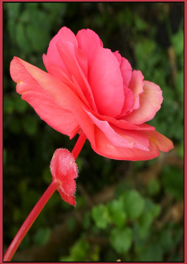 Bright Begonia
