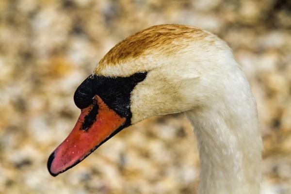 Swan Portrait by frenchie44