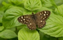 Speckled wood butterfly by oldgreyheron