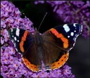 Red Admiral Basking on a Buddleia. by Badgerfred