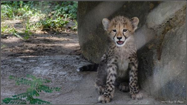 Cheetah cub by GeorgeP