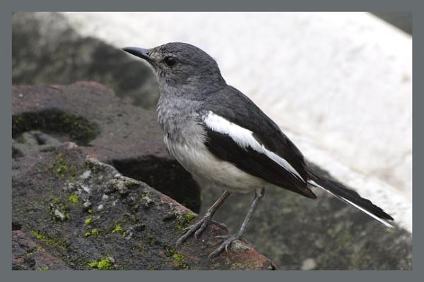 Magpie Robin by prabhusinha