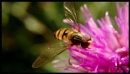 Hoverfly by ray_paul