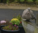 collard dove by sparrowhawk