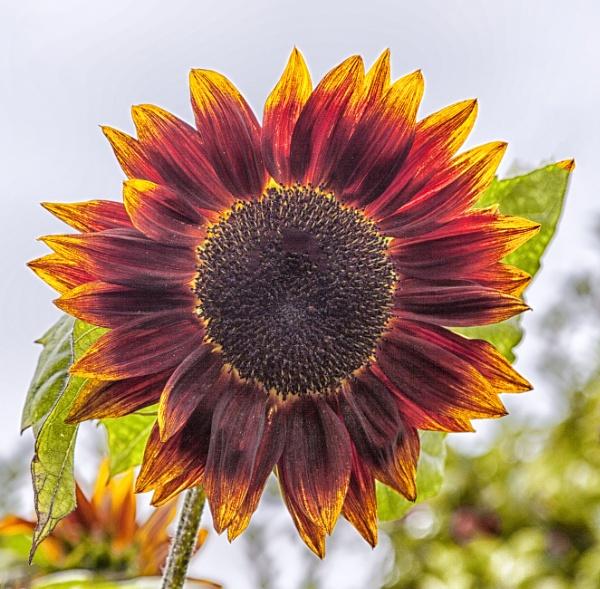 Sun Flower by adamsa