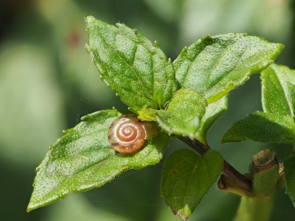 Snail on Mint Tip by nclark