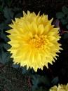 Dahlia Flower by debu