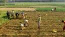 Potato cultivation in Bankura,West Bengal by debu