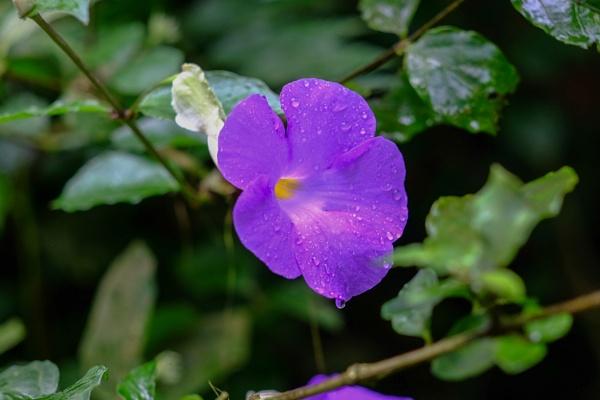 Purple Drops by touchingportraits