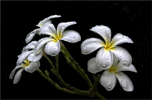 Rain Drops by sweetpea62