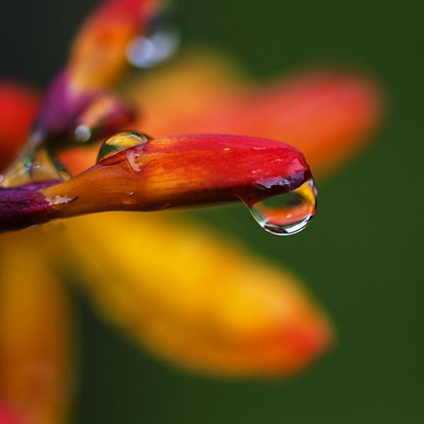 Montbretia Droplet by Irishkate