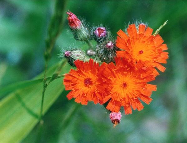 Orange Hawkweed by gconant