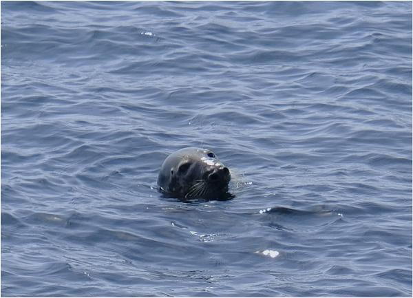 Grey seal by tedtoop