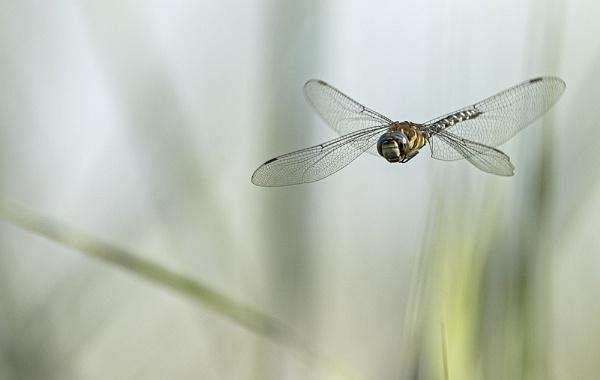 Dragonfly in flight by hibbz