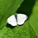 Small White by tony_hoops