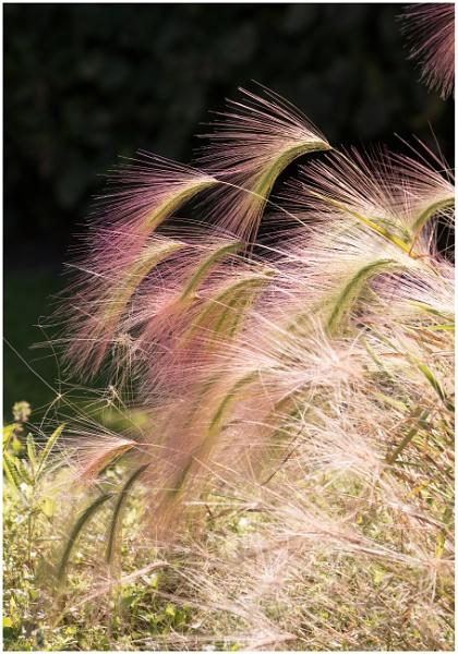 Foxtail Barley ( Hordeum jubatum ) by capto