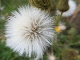 dandilion seeding