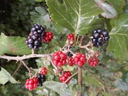 yummy blackberries