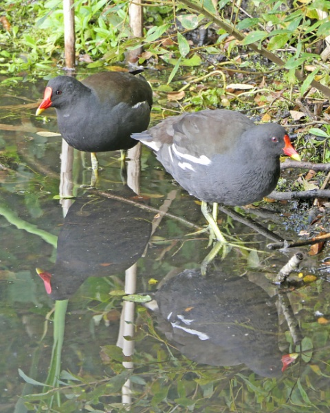 Moorhens by Ted447