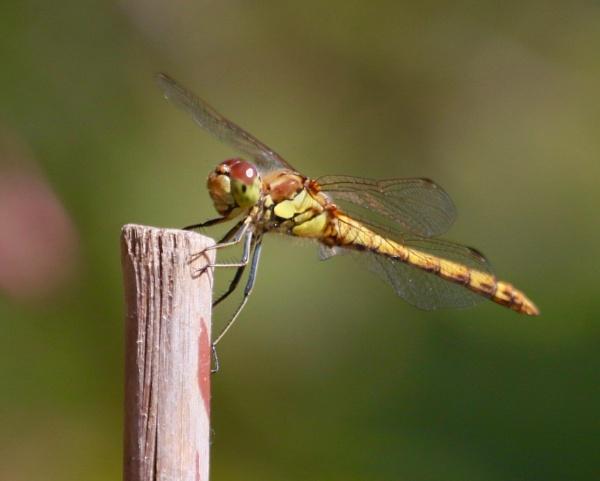 Dragon fly by Lencollard