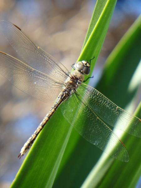 Finally a dragon fly by artgaz1062