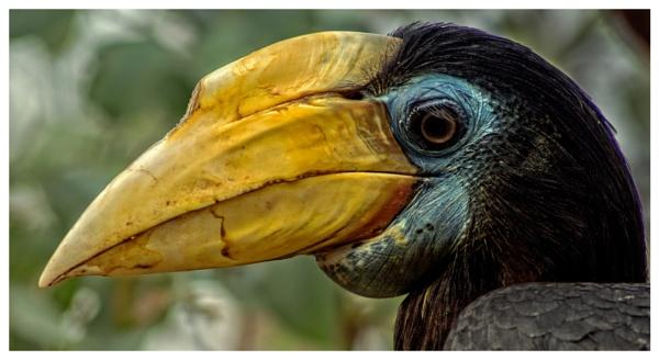 Wrinkled Hornbill by sarumboy