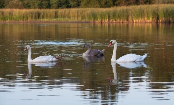Swan family by Nino812