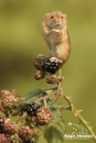 Harvest Mouse by AH1shot