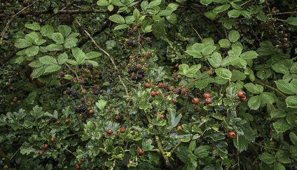 Autumn berries by BillRookery
