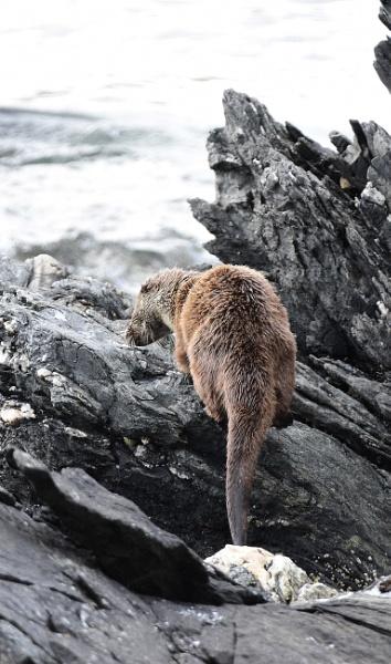 Wild otter by HelenMarie