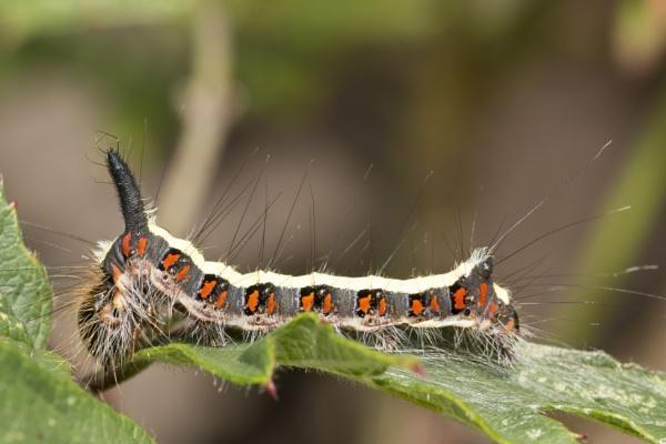 Grey dagger moth larva by kip55