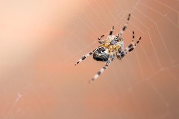 Garden Spider by wrighty765squit