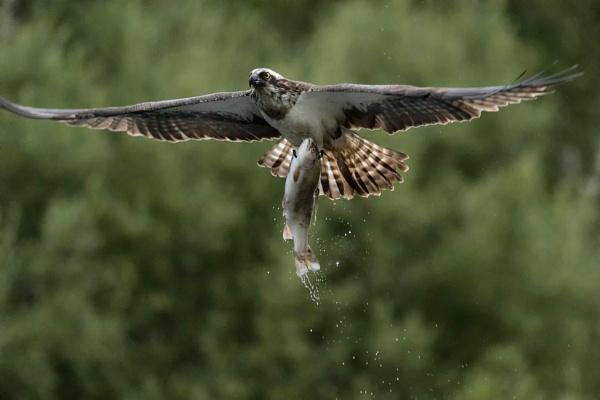 Osprey Fishing by kfjmiller
