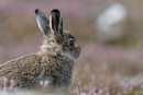 Mountain hare leveret by kfjmiller at 02/09/2017 - 3:40 PM