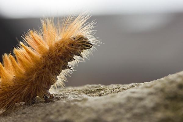 Sycamore Moth by SC_Photos