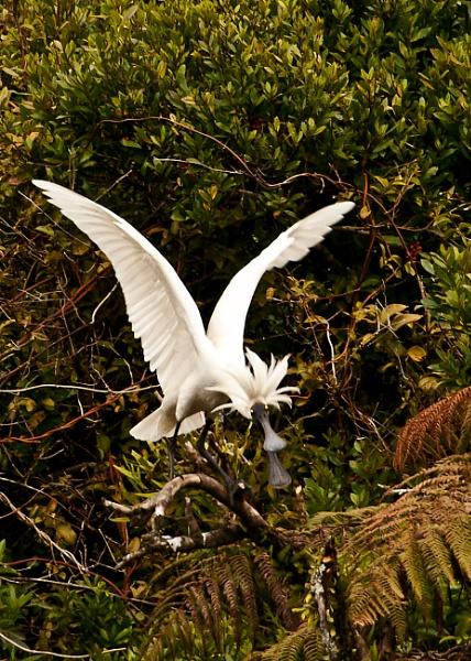 Spoonbill - Okarito NZ by barryyoungnz